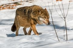 Wolf walking in the winter forest. On a sunny day Royalty Free Stock Image