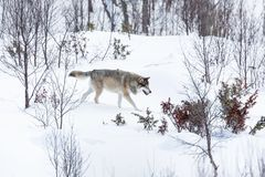 Wolf walking in winter landscape Stock Photography