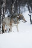 Wolf walks in the snow Stock Images
