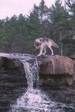 Wolf am Wasserfall Stockfotos