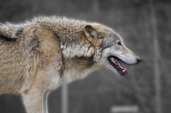 Wolf watching prey across the snow covered plains. Hungry Wolf stalks its prey on a cold open plains Stock Photography