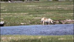 Wolf Water Break stock footage