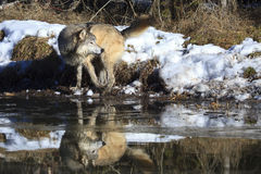 Wolf by water hole. Timber Wolf by water hole Stock Images