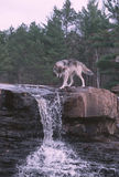 Wolf at waterfall stock photos