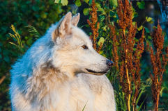 Wolf. A white wolf looking for its next meal Royalty Free Stock Photos