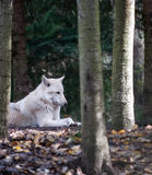 Wolf. A white wolf relaxing in the forest Stock Images