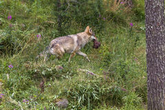 Wolf. A wolf in the wild northern Finland stock images
