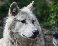 Wolf, Wildlife, Mammal, Fauna