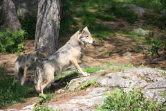 Wolf. Wildlife, wolf in the nature Stock Photography