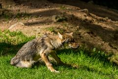 Wolf in Wildpark Neuhaus. Wildpark Neuhaus,Park full of animals un Germany Stock Images