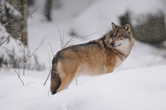Wolf in the Winter. The gray or grey wolf often known as the wolf only Royalty Free Stock Images