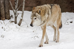 Wolf in winter Stock Photos