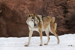 Wolf in winter Stock Photo