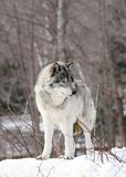 Wolf during winter. Gray wolf in nature during winter Royalty Free Stock Photography
