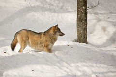 Wolf in winter. Eurasian wolf in winter forest Royalty Free Stock Image