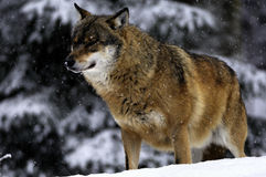 Wolf in winter. Big wild wolf (Canis lupus) standing in the snow and staring in winter Stock Photography