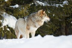 Wolf in the winter forest Stock Image