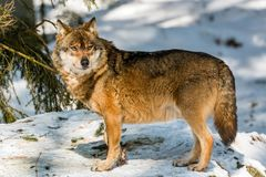 Wolf in the winter forest royalty free stock photography