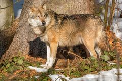 Wolf in the winter forest. Wolf walking in the winter forest on a sunny day Royalty Free Stock Photo