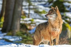 Wolf in the winter forest. Wolf walking in the winter forest on a sunny day Royalty Free Stock Photos