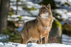 Wolf in the winter forest. Wolf walking in the winter forest on a sunny day Stock Images