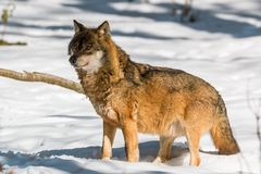 Wolf in the winter forest. Wolf standing in the winter forest on a sunny day Royalty Free Stock Images