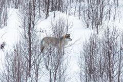 Wolf in winter landscape Royalty Free Stock Images
