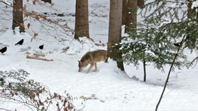 A Wolf in winter in the snowy Woods and some raven stock video footage