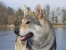 Wolf in winter time Stock Photos