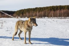 A wolf in winter in a wide field on a leash in the snow against a blue sky. Behind the forest stock image