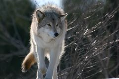 Wolf in winter2. Wolf in the winter of quebec Royalty Free Stock Image