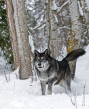 Wolf in wintry forest Stock Photography