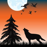 Wolf in wood Stock Image