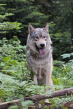 Wolf in the wood Royalty Free Stock Photo