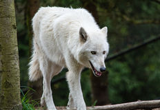 Wolf at Woodland. Park Zoo walks across his compound stock photos