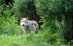 Wolf in the woods. Mexican gray wolf (Canis lupus baileyi) standing in the woods Stock Photo