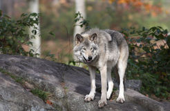 Wolf in the woods Stock Photos