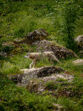 Wolf in the woods. Lonely wolf scouting the forest with pride Royalty Free Stock Photo