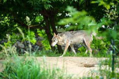Wolf in the woods. Mexican gray wolf (Canis lupus baileyi) standing in the woods Stock Photography