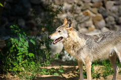 Wolf in the woods. Mexican gray wolf (Canis lupus baileyi) standing in the woods Royalty Free Stock Image