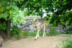 Wolf in the woods. Mexican gray wolf (Canis lupus baileyi) standing in the woods Stock Images