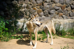 Wolf in the woods. Mexican gray wolf (Canis lupus baileyi) standing in the woods Royalty Free Stock Photo