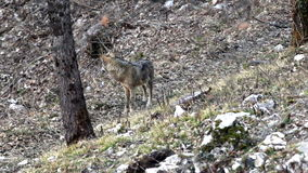 Wolf in the woods. Wolf in the National Park of Abruzzo in Italy stock video footage