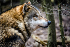 Wolf in the woods. From the side Royalty Free Stock Images