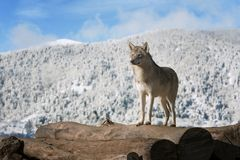 Wolf on the woods. royalty free stock photo