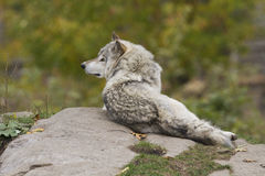 Wolf in the woods Royalty Free Stock Photography