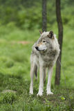 Wolf in the woods Royalty Free Stock Photos