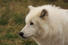 Wolf Wyoming blanco Foto de archivo
