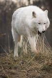 Wolf Yawning ártico Fotos de archivo libres de regalías
