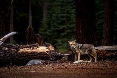 Wolf in Yosemite National Park Royalty Free Stock Photos